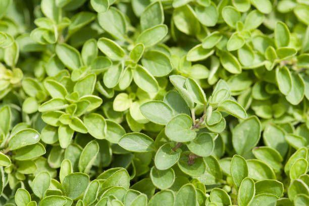 "<p>You might not think of oregano as a ground cover, but this herb forms dense clumps of scented foliage. With full sun, this green herb will grow small flowers in summer, attracting plenty of pollinators. Snip some for cooking, or keep it trimmed back to manage its height. </p><p><a class=""link rapid-noclick-resp"" href=""https://go.redirectingat.com?id=74968X1596630&url=https%3A%2F%2Fwww.etsy.com%2Flisting%2F774653310%2Foregano-seeds-origanum-vulgare-organic&sref=https%3A%2F%2Fwww.goodhousekeeping.com%2Fhome%2Fgardening%2Fg32440508%2Fbest-ground-cover-plants%2F"" rel=""nofollow noopener"" target=""_blank"" data-ylk=""slk:SHOP NOW"">SHOP NOW</a></p>"