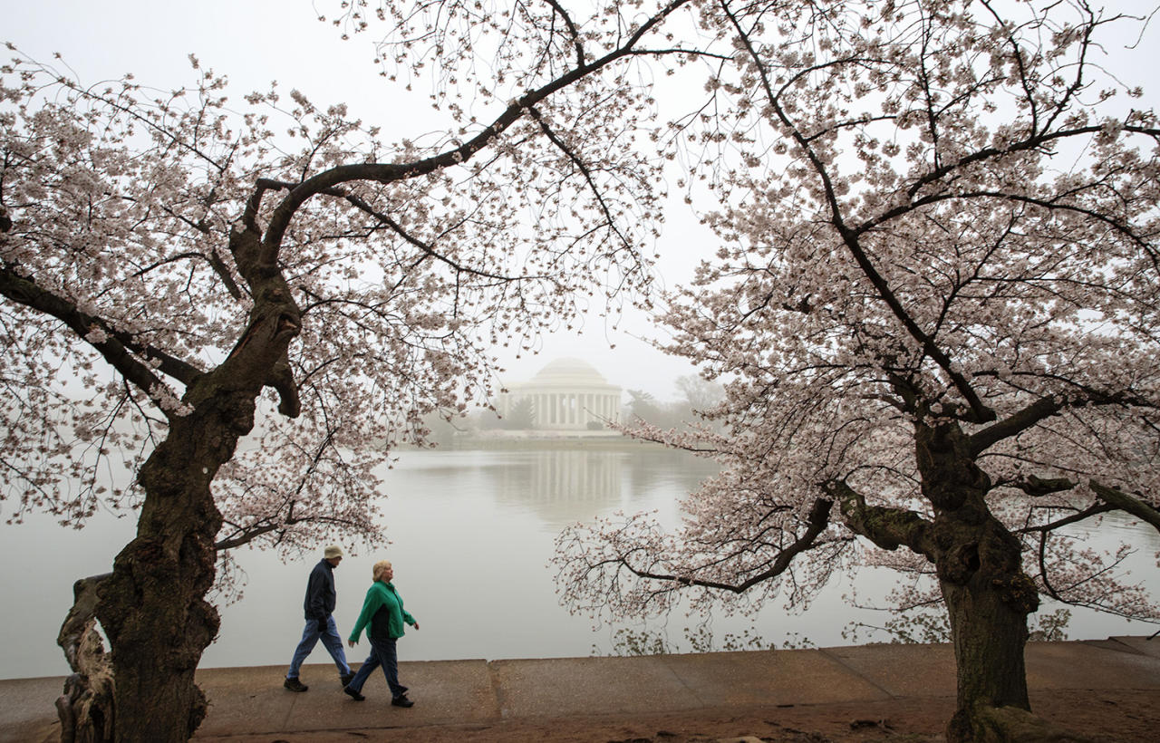 <p>Early morning fog mutes the color of cherry blossoms on Washington's famous cherry trees surrounding the Tidal Basin near the Jefferson Memorial, Monday, March 27, 2017. This year's bloom was different from in the past because cold weather killed half of the blossoms on the Yoshino cherry trees just as they were reaching their peak. The National Park Service says on its website that peak bloom was reached Saturday, March 25, 2017. (J. Scott Applewhite/AP) </p>