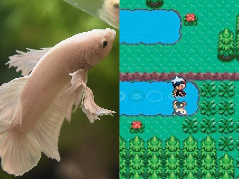 (Left) A Siamese fighting fish, and (right) a screenshot from 'Pokemon Sapphire' (Getty/Nintendo)