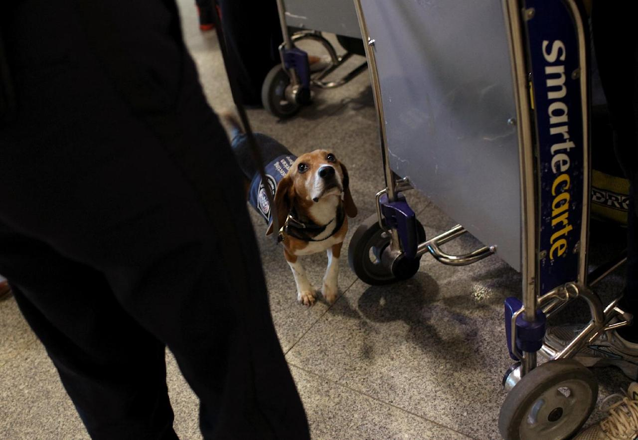 In this Feb. 9, 2012 photo, Meghan Caffery, standing at left, a U.S. Customs and Border Protection Agriculture Specialist, works with Izzy, an agricultural detector beagle whose nose is highly sensitive to food odors, as he sniffs incoming baggage and passengers at John F. Kennedy Airport's Terminal 4 in New York. This U.S. Customs and Border Protection team works to find foods and plants brought in by visitors that are considered invasive species or banned products, some containing insects or larvae know to be harmful to U.S. agriculture. (AP Photo/Craig Ruttle)