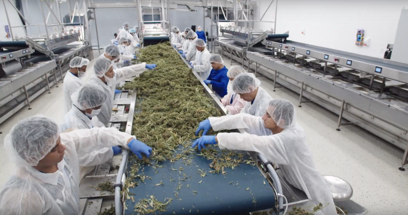 Aphria workers process cannabis. (YouTube)