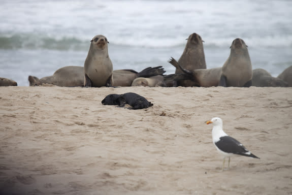 A kelp gull approaches a sleeping juvenile seal on the beach at Pelican Point in Namibia.