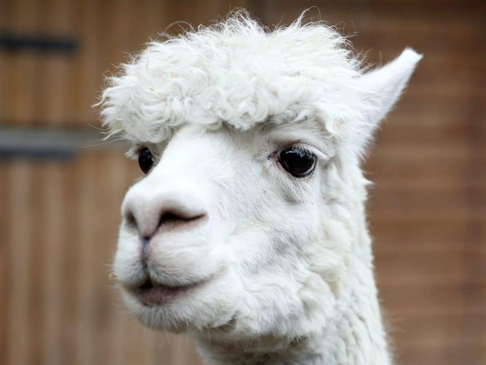 A new nasal spray is in talks to be produced, with its ingredients to include nanobodies produced by llamas and camels (Getty)