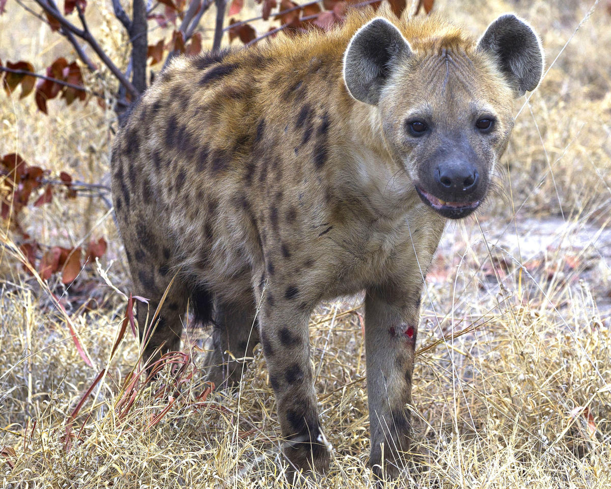 PIC BY JAYESH MEHTA / CATERS NEWS - (PICTURED: One of the Hyenas after failing to get the elephant calf) - This is the incredible moment an elephant came to the rescue of one of its babies being attacked by a pack of hyenas. The elephant is seen charging at the hyenas to ward them off its offspring. These amazing pictures were captured by American photographer Jayesh Mehta, 47, in the Savuti region of the Chobe National Park in Botswana. SEE CATERS COPY.