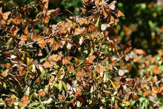 A drop in monarch butterfly population in the south could ...