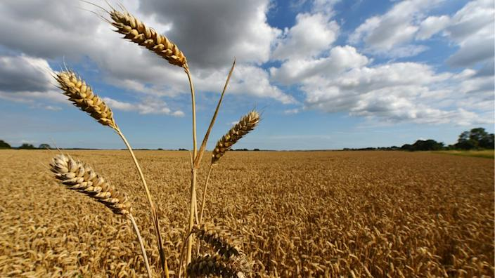 In the UK, wheat is the largest arable crop