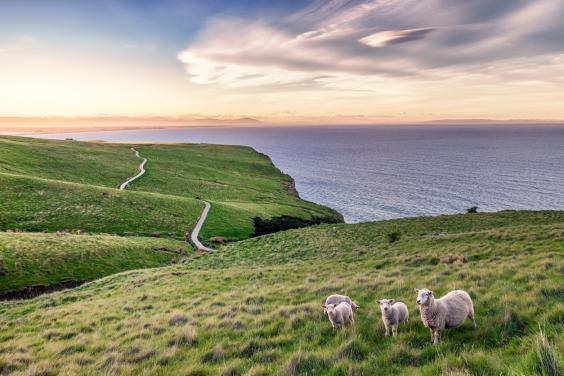There are six sheep per person in New Zealand (Getty/iStock)