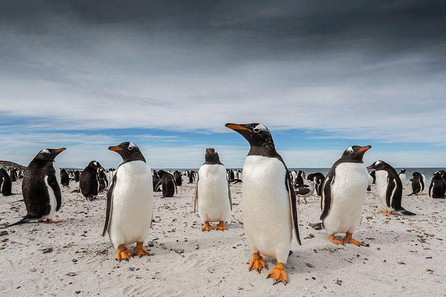 """Animal category winner: Barry Robertson  """"While my wife was photographing gentoo penguins coming out of the water on Bleaker Island's Sandy Bay, in the Falkland Islands, I dug a small hole in the sand so as to not startle the penguins on their route back to their nest. I laid in wait for hours before these curious chaps came over to see who I was - I couldn't help but think they were posing for me."""""""