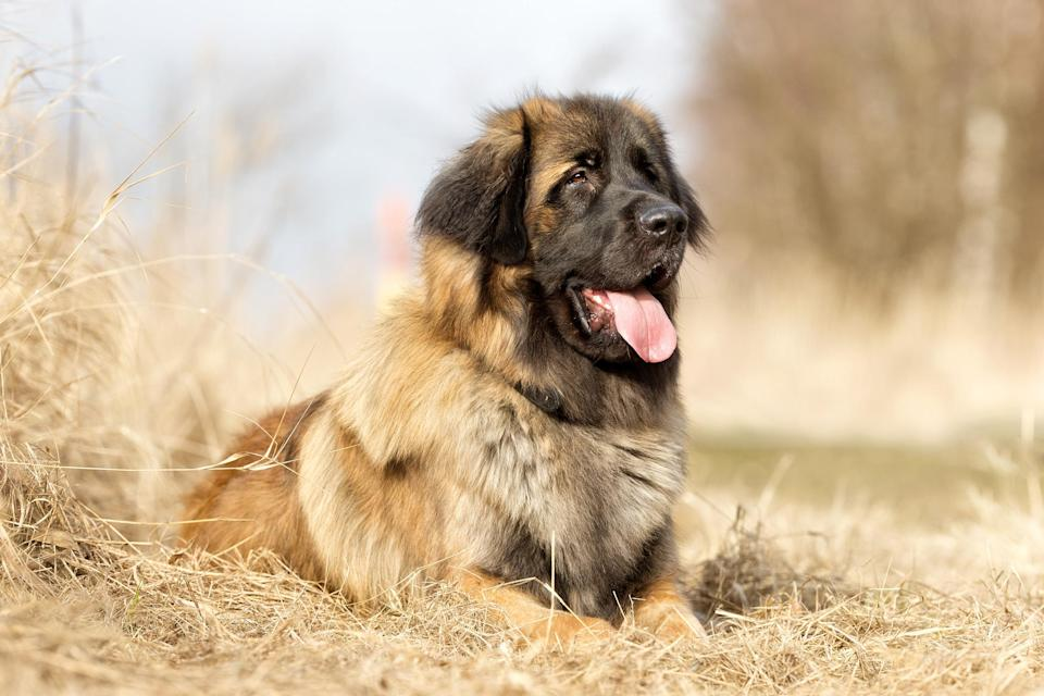 "<p>The <a href=""https://www.dailypaws.com/dogs-puppies/dog-breeds/leonberger"" rel=""nofollow noopener"" target=""_blank"" data-ylk=""slk:Leonberger"" class=""link rapid-noclick-resp"">Leonberger</a>'s lineage includes St. Bernards and Newfoundlands, which means this unique dog is considered among the giant breeds; as such, Leonbergers can reach well over 100 pounds. They're affectionate, good with kids, and extremely devoted to owners, who they want to be with as much as possible. Because of their large size, love of muddy water, and amount of attention and exercise needed, you won't frequently find these dogs in urban areas or large towns. The breed can live eight to nine years.</p>"