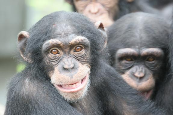 Human Intelligence Secrets Revealed by Chimp Brains