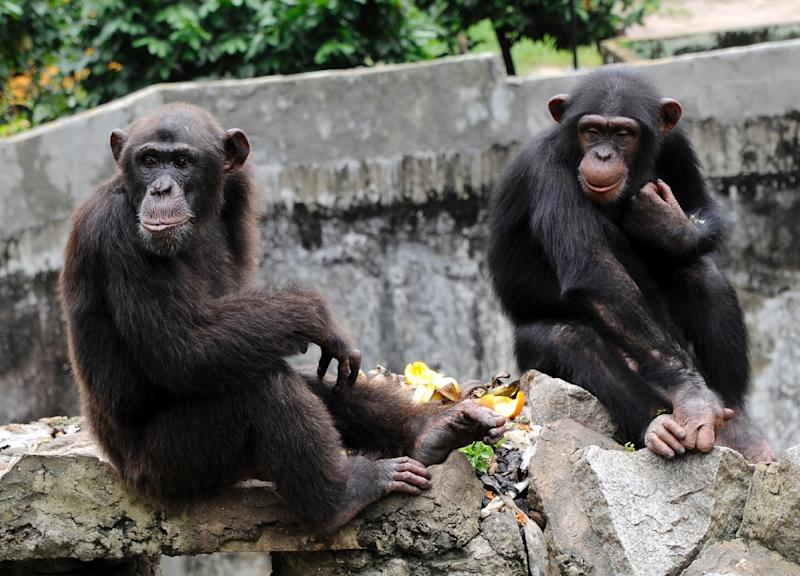 "Attorney Steven Wise argues that apes, chimpanzees, elephants and orcas are as entitled to the rights of ""persons"" under law as are people or corporations (AFP Photo/Sia Kambou)"
