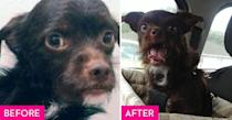 """<p>Stanley's human fell in love with him through a post on <a href=""""https://www.petfinder.com/"""" rel=""""nofollow noopener"""" target=""""_blank"""" data-ylk=""""slk:Petfinder.com"""" class=""""link rapid-noclick-resp"""">Petfinder.com</a>. He was rescued from a physically abusive breeder in Kentucky who kept him in a small cage without food. When Stanley finally met his owner, he slept on her lap for the entire car ride to his forever home and hasn't left her side since. </p>"""