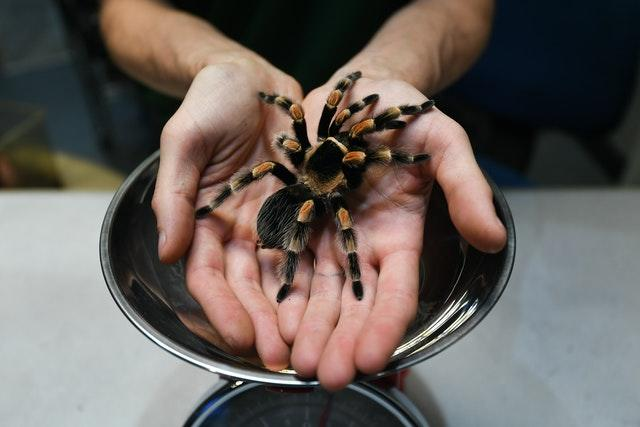 Senior keeper Jamie Mitchell prepares Katie the tarantula to be weighed, during the annual weigh-in at ZSL London Zoo