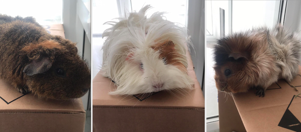 <em>The three guinea pigs were left dumped in a cardboard box outside a charity shop (RSPCA)</em>