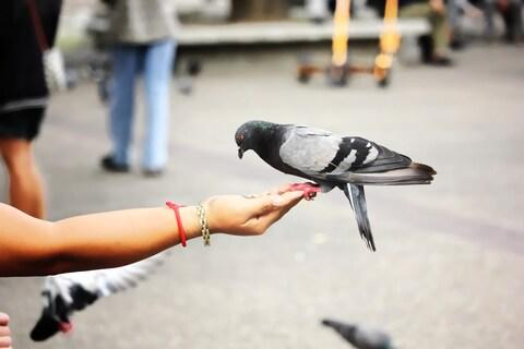 Pigeons: not that active unless food or fear is involved - Credit: getty