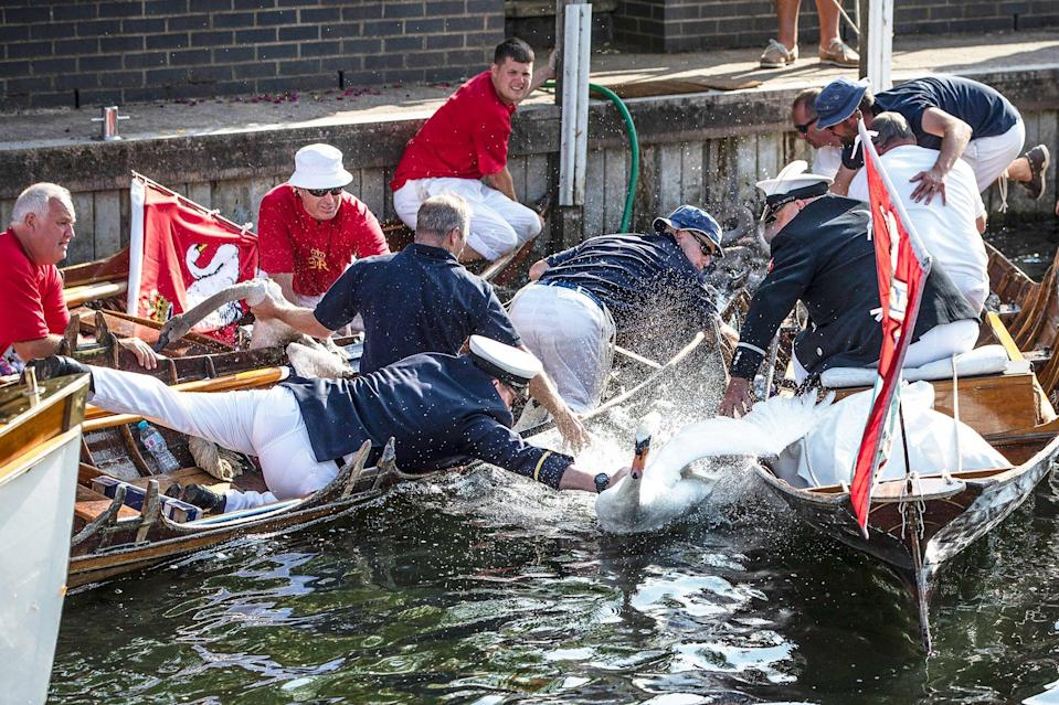 Swan Upping begins on the Thames