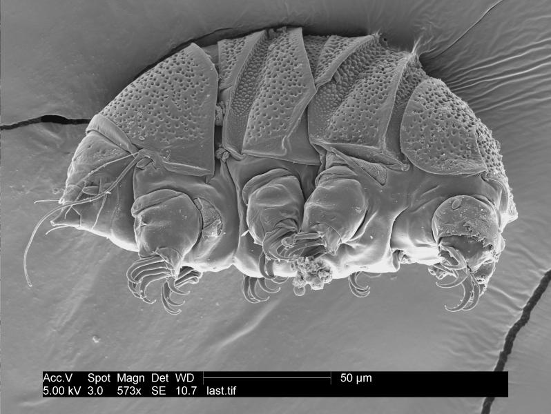 """This undated electron microscope image provided by William Miller of Baker University in March 2019 shows a tardigrade of the class Heterotardigrada, also known as a """"water bear."""" The small animals, about the size of a period, are able to survive extreme heat, cold, radiation and even the vacuum of space. (William Miller via AP)"""