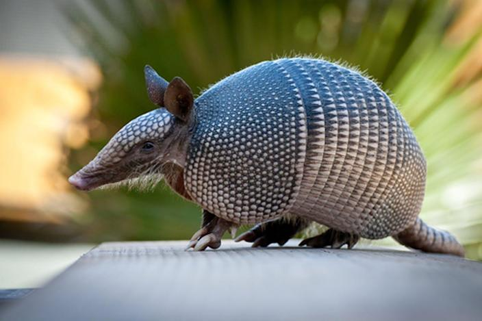 "<span class=""caption"">An armadillo in the Florida Everglades. </span> <span class=""attribution""><a class=""link rapid-noclick-resp"" href=""https://www.shutterstock.com/image-photo/armadillo-near-everglades-83394460?src=RG9VWYlKyIqxR7VjQD2SIg-1-4"" rel=""nofollow noopener"" target=""_blank"" data-ylk=""slk:Heiko Kiera/Shutterstock.com"">Heiko Kiera/Shutterstock.com</a></span>"