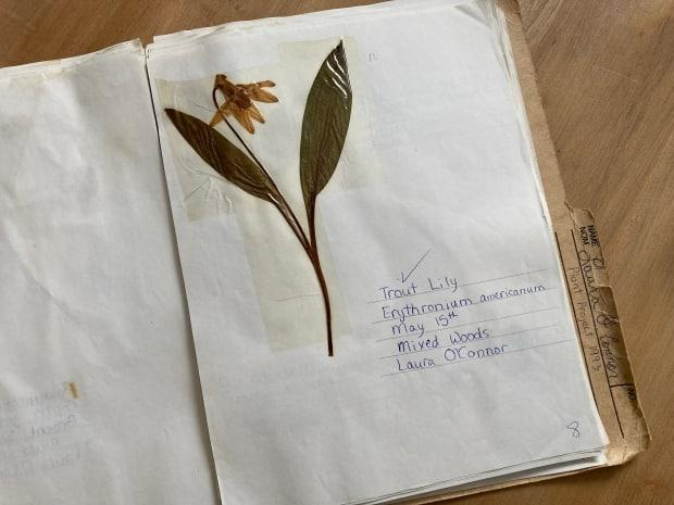 The yellow trout lily that Laura O'Connor found on May 15, 1993 — and was included in her plant collection project for teacher Kevin MacAdam.