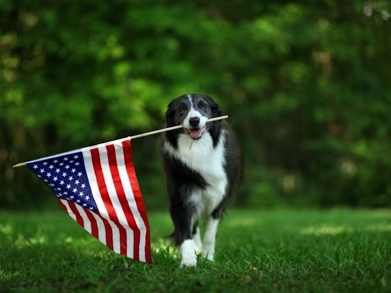 Although the coronavirus pandemic has caused the cancellation of many organized Fourth of July fireworks displays, illegal fireworks displays in cities and small towns across the country are extending what is typically a season of terror for many dogs.