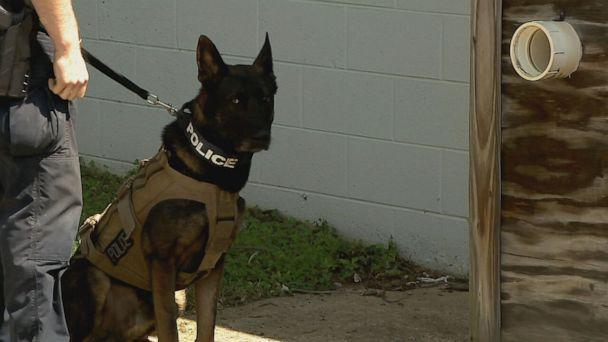 PHOTO: Taz, pictured, is the K-9 partner of Sgt. Kyle Russell of Alexandria, Virginia. (ABC)