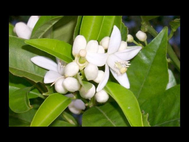 <b>Orange Blossom means Chaste</b><br> Which is what your love for her is we hope.