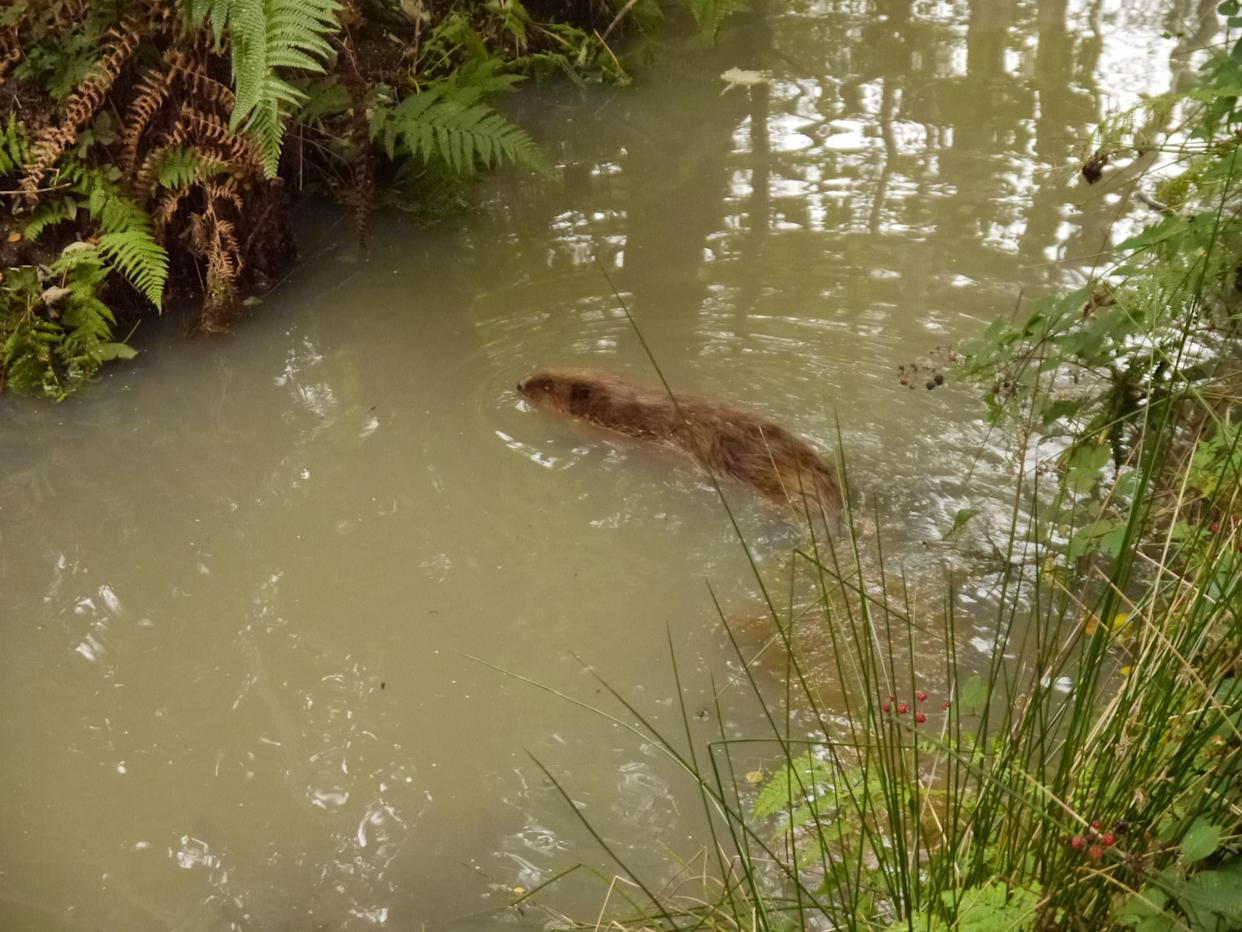 An adult beaver at Wild Ken Hill in Norfolk, where a baby beaver has been captured on camera. (Wild Ken Hill/ PA)