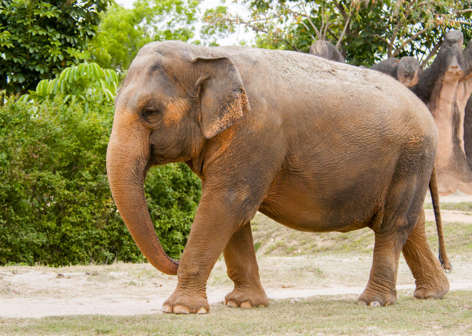 Indian Elephant, also known as an Asian Elephant