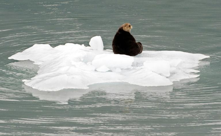 A sea otter sits on a chunk of ice that fell from a glacier in the Prince William Sound near Whittier, Alaska