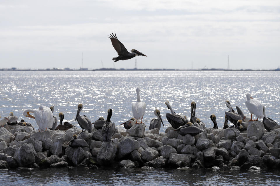 FILE - In this Feb. 3, 2020, file photo, pelicans fly over and sit on man-made rock revetment on Queen Bess Island in Barataria Bay, La. (AP Photo/Gerald Herbert, File)