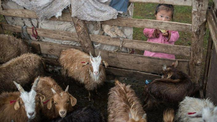 A child looking at a pen of cashmere goats in southern Mongolia