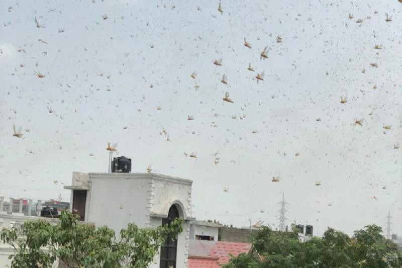 'Keep Doors, Windows Closed': Delhi Issues Advisory as Swarms of Locusts Reach Outskirts from Gurugram