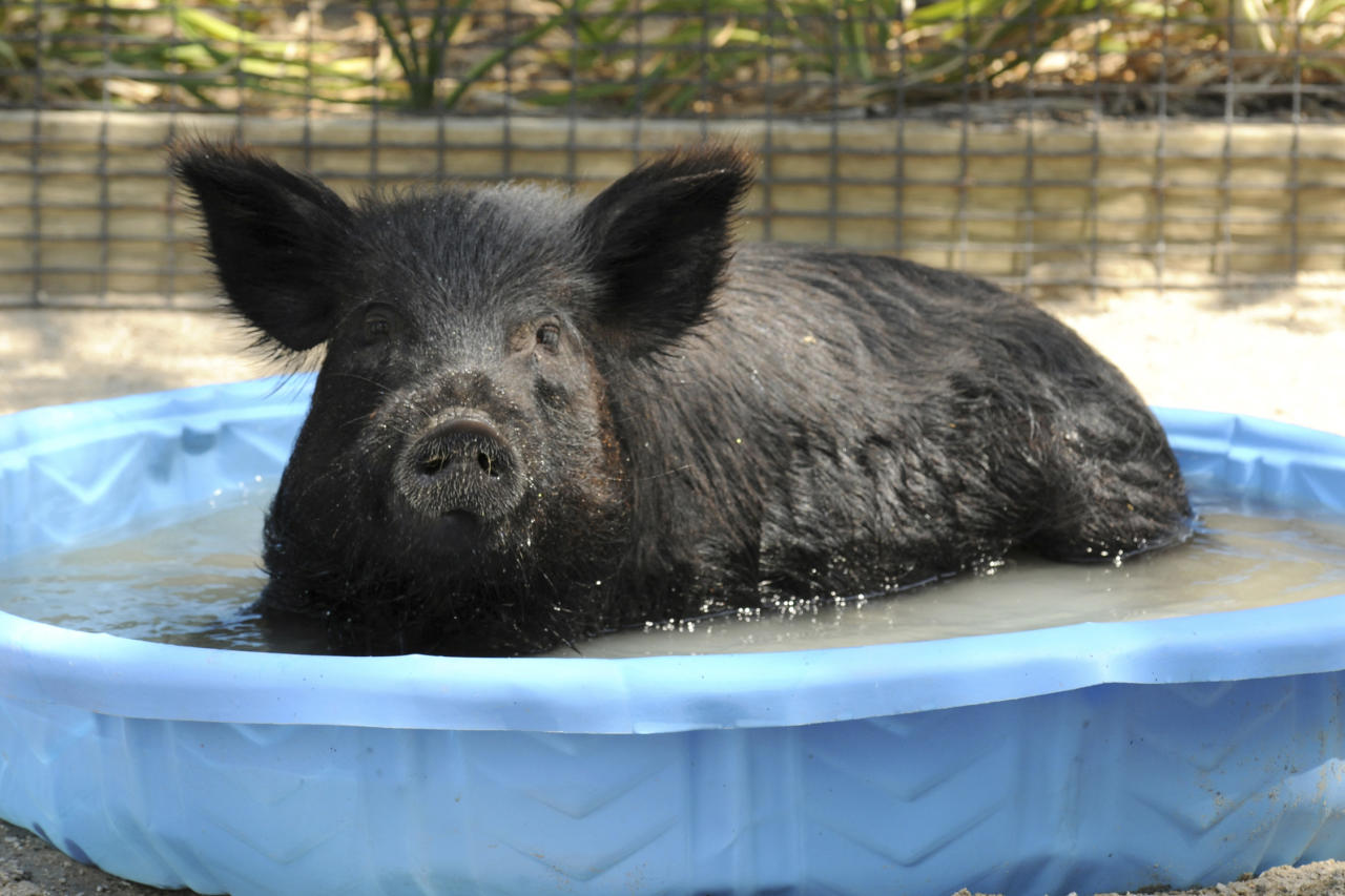 In this Thursday, June 28, 2012 photo provided by the Chicago Zoological Society, Honey, a 2-year-old American Guinea hog at the Brookfield Zoo in Brookfield, Ill., cools off in a pool of water as temperatures hovered near the 100 mark. (AP Photo/Chicago Zoological Society, Jim Schulz)