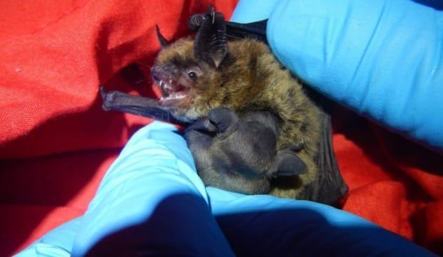 This little brown bat was caught in New Brunswick in June 2019, when researchers did a survey of maternity colonies. Her pup is clinging to her abdomen. Finding healthy mothers and pups in the province is encouraging for a species almost wiped out by white nose syndrome.