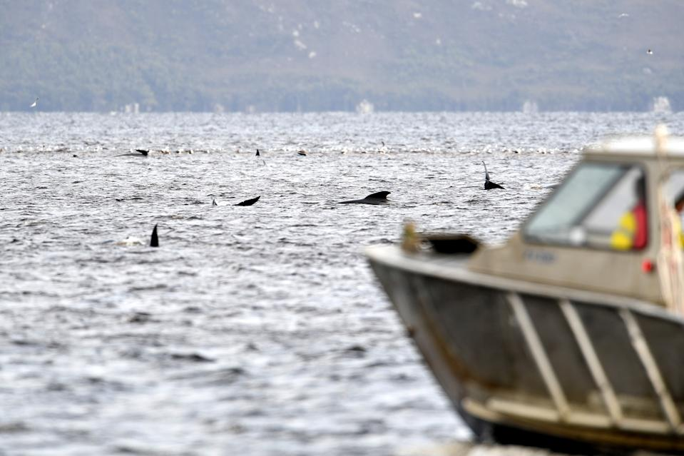 Teams work to rescue hundreds of pilot whales that are stranded on a sand bar in Macquarie Harbour on September 23, 2020 in Strahan, Australia. (Photo by Steve Bell/Getty Images)