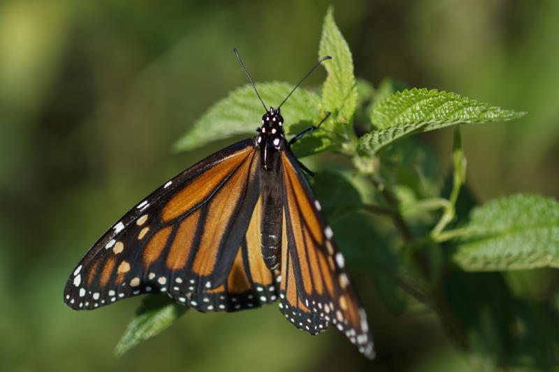FILE - In this Monday, July 29, 2019 file photo a monarch butterfly rests on a plant at Abbott's Mill Nature Center in Milford, Del. Seventeen states sued the Trump administration Wednesday, Sept. 25, 2019, to block rules weakening the Endangered Species Act, saying the changes would make it tougher to protect wildlife even in the midst of a global extinction crisis. (AP Photo/Carolyn Kaster,File)
