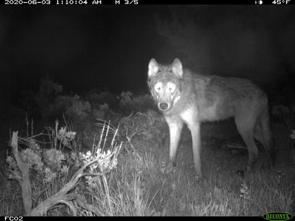 This June 3, 2020, image released by Colorado Parks and Wildlife shows a wolf on a CPW-owned game camera in Moffat County, Colo. Wolves have repopulated the mountains and forests of the American West with remarkable speed since their reintroduction 25 years ago, expanding to more than 300 packs in six states. (Colorado Parks and Wildlife via AP)
