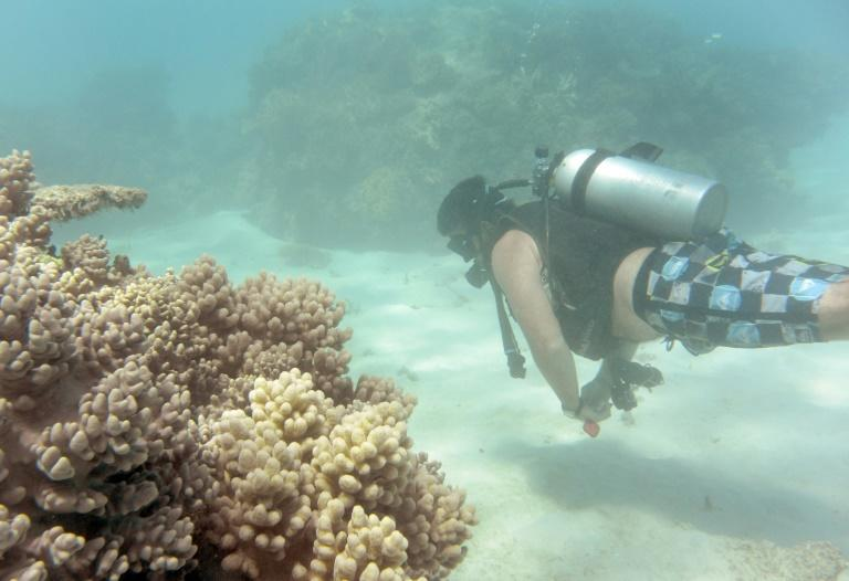 Prior to the record mass bleaching in 2016, the coral had a few years between episodes to recover
