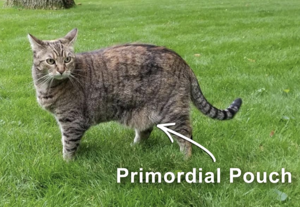 Photo shows cat with primordial pouch as part of vet's explanation of its use.