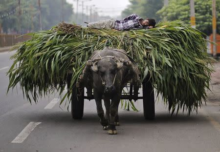 A man lies on a heap of fodder, which was removed from a sugarcane field, on a cart pulled by a bull in Muzaffarnagar in the northern Indian state of Uttar Pradesh July 19, 2014. REUTERS/Anindito Mukherjee