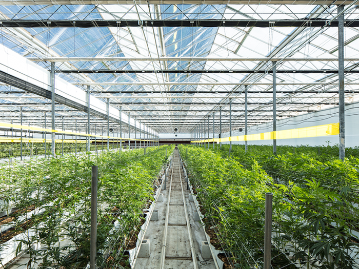 Interior view of a large cannabis greenhouse.