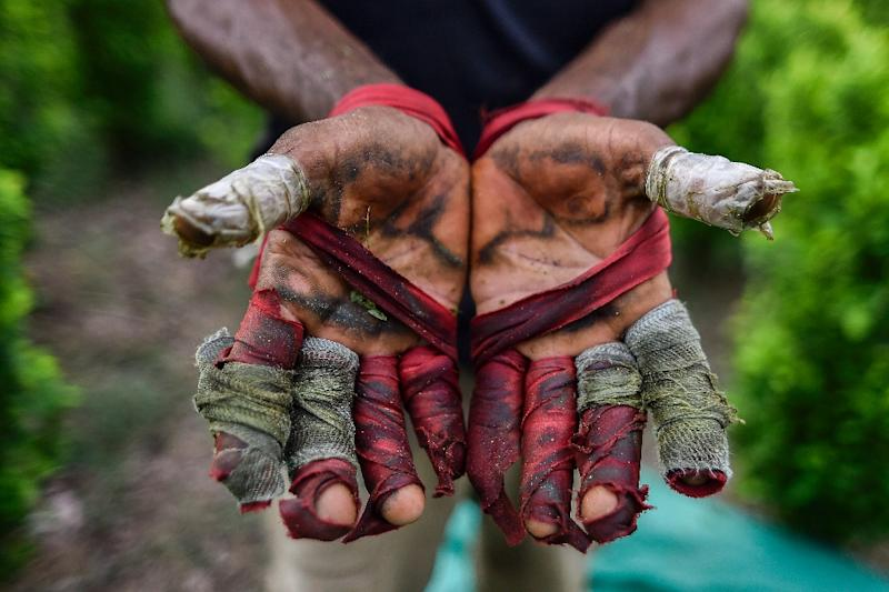Working as a coca leaf picker is painful labor and leaves the worker's hands blistered, bloody and shredded (AFP Photo/Luis ROBAYO)