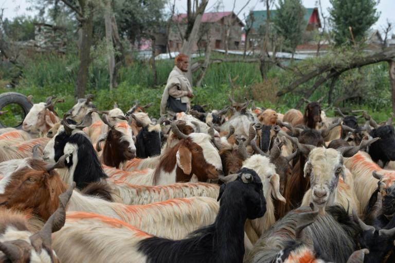 Livestock dealers say the Indian clampdown in Kashmir has left them with huge losses ahead of the Muslim Eid al-Adha holiday (AFP Photo/Sajjad HUSSAIN)