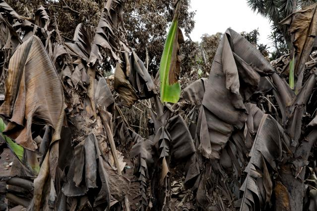 <p>Banana leafs covered with ash are seen in the area affected by the eruption of the Fuego volcano at San Miguel Los Lotes in Escuintla, Guatemala, June 8, 2018. (Photo: Carlos Jasso/Reuters) </p>