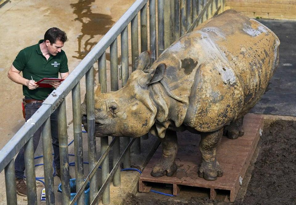 Beluki, a greater one-horned rhinoceros, stands alongside keeper Phil Curzon (Steve Parsons/PA) (PA Wire)