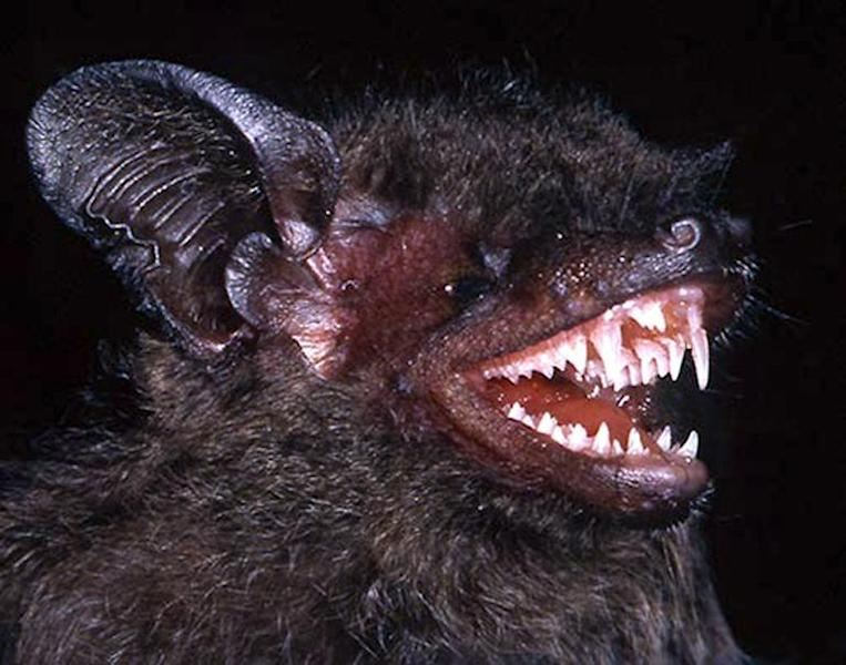 An undated handout picture released in Hanoi on May 27, 2015 by the World Wildlife Fund (WWF) shows a long-fanged bat, Hypsugo dolichodon