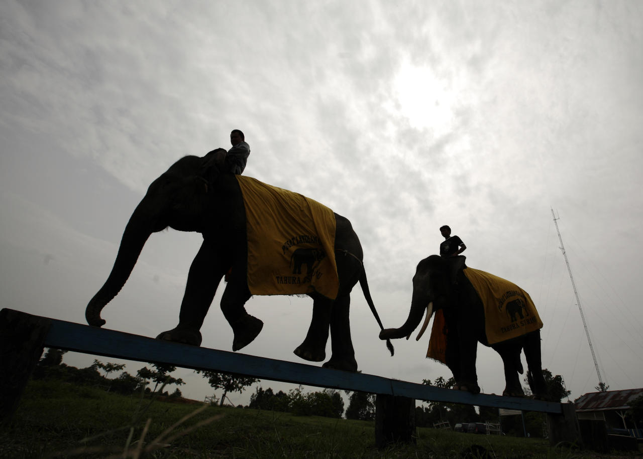 Sumatran elephants walk across a beam during morning practice at the Elephant Training Centre in Minas, Indonesia's Riau province February 29, 2008. The Sumatran elephant, the smallest of the Asian elephants, is facing serious pressures arising from illegal logging and rapid forest conversion to palm oil plantations. As forests shrink, elephants are increasingly closer to fields and cultivated land, generating conflict with humans that often result in the death of the elephants by poisoning or capture, according to a World Wildlife Fund (WWF) report in 2007. The Minas Elephant Training Centre protects more than 40 elephants from around 200 elephant populations in Riau's forests. REUTERS/Beawiharta (INDONESIA)
