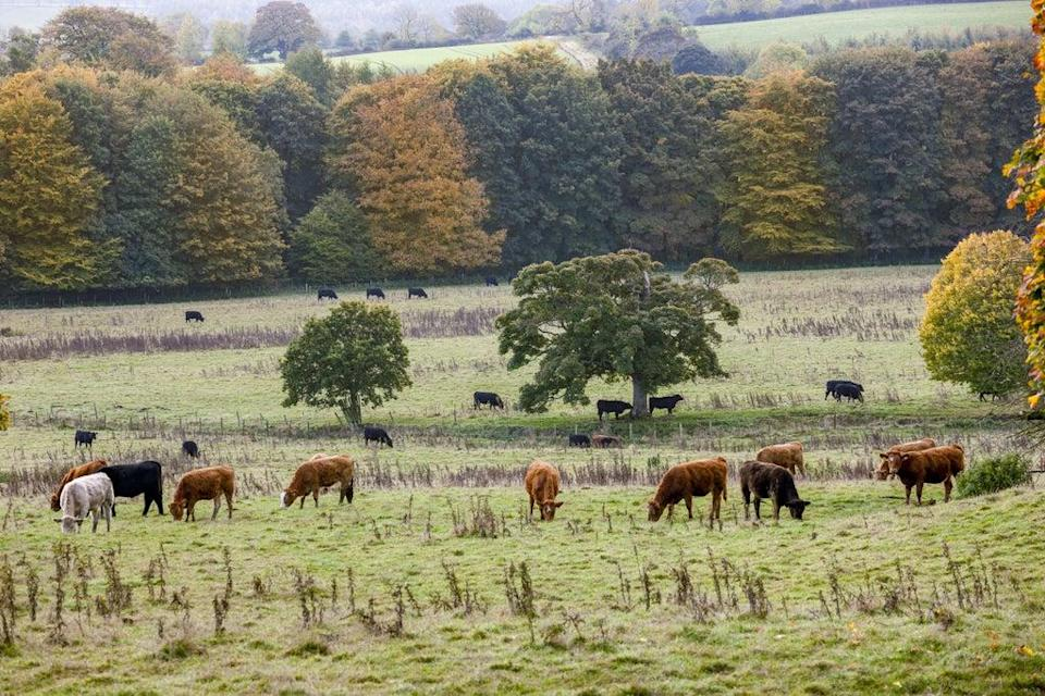 Cattle on the estate at Wallington, Northumberland (Andrew Butler/National Trust/PA)