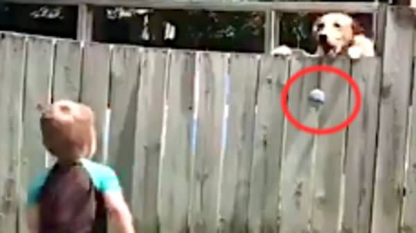 Toddler And Dog Play The Cutest Game Of Fetch Over Backyard Fence