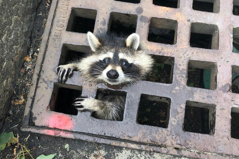 A young raccoon finds itself in a bit of a pinch and in need of rescue (AFP Photo/HO)